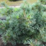 Pinus strobus 'Edel'