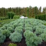 Pinus strobus 'Radiata' 3