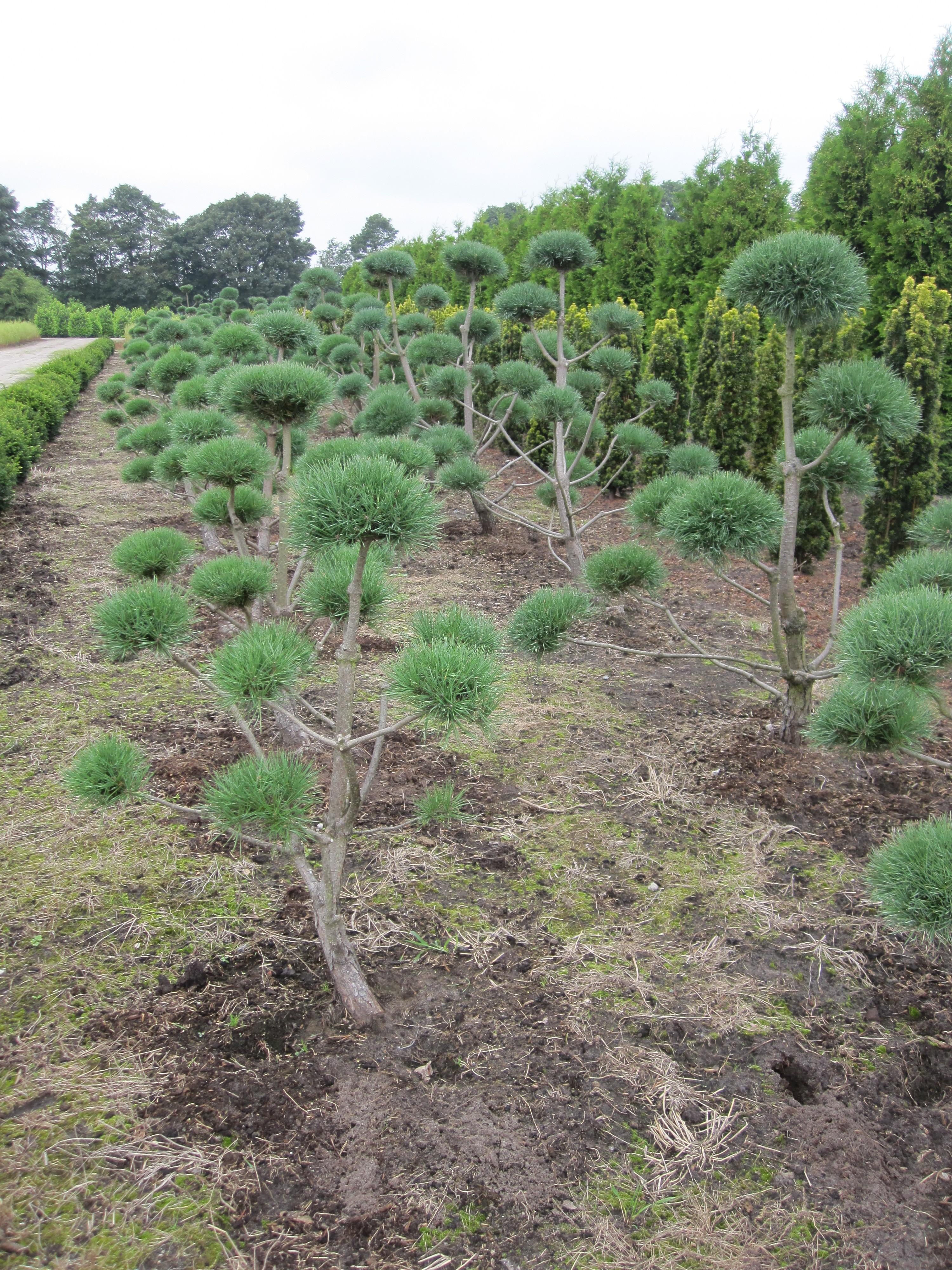 pinus sylvestris watereri bonsai von hammel baumschulen. Black Bedroom Furniture Sets. Home Design Ideas
