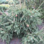 Picea abies 'Acrocona