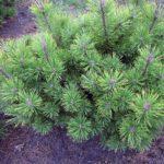 Pinus mugo 'Schweizer Tourist'