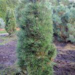 Pinus nigra 'Richard'