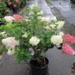 hydrangea-paniculata-sundae-fraise-img_4565
