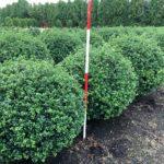 Ilex crenata 'Rotundifolia' Kugel